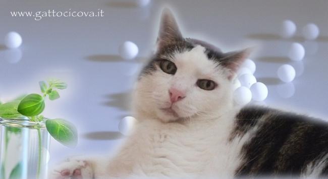 Asma nel Gatto