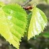 Betula Pubescens per Gatto e Cane