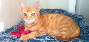 rimedi-cure-naturali-pancreatite-felina