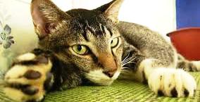 ipertiroidismo-felino