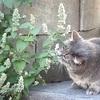 Nepeta Cataria nel Gatto