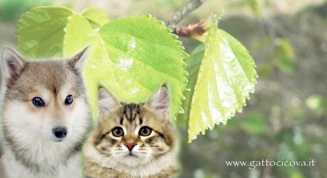Betulla nel Gatto e Cane
