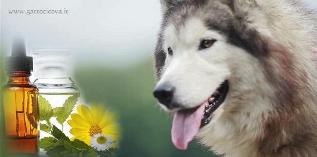 Asma nel Cane
