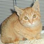 lipidosi-epatica-nel-gatto