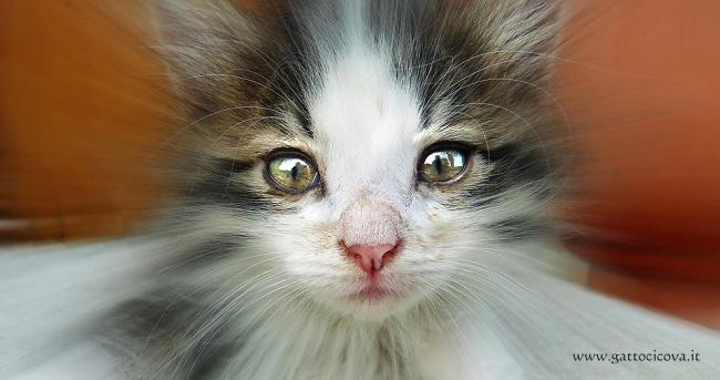 Sordità nel Gatto