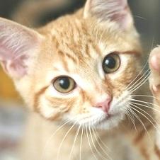Dermatite nel gatto