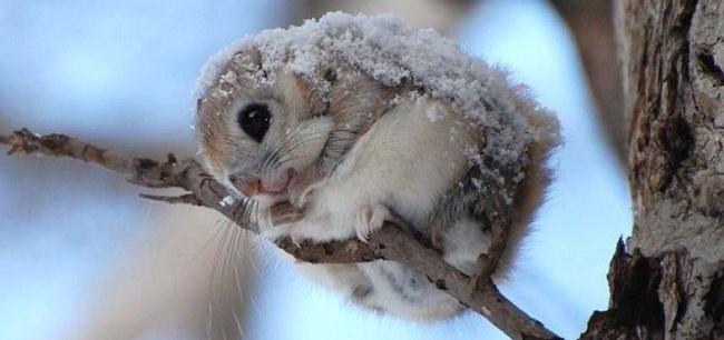 scoiattolo-volante