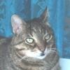 Ulcera Indolente nel Gatto