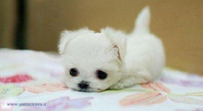 Cani in Miniatura