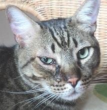 rimedi-cure-naturali-congiuntivite-gatto