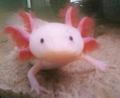 axolotls-piccolo