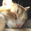 Leucopenia nel Gatto
