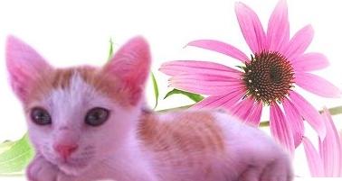 Echinacea nel Gatto