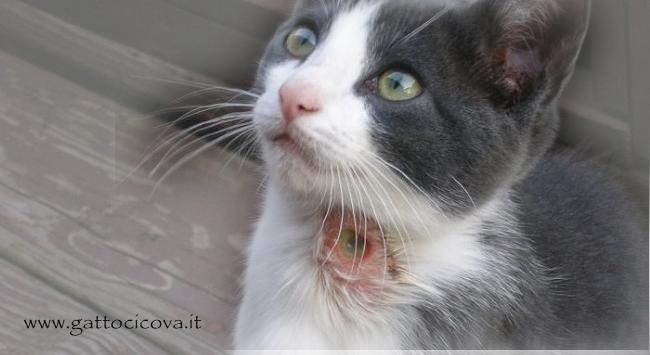 Curare una Ferita nel Gatto