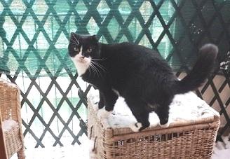 gatto-domestico-e-neve