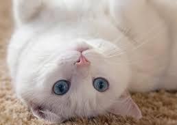 gatto-sordo