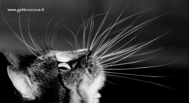 Vibrisse nel Gatto